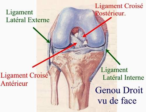 a brief description of bones ligaments