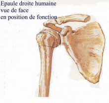 Articulation Gléno-humérale
